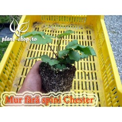 Mur fără spini - Rubus idaeus Chester