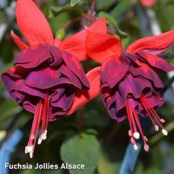 Fuchsia Alsace