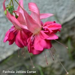 Fuchsia Jollies Corse