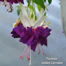 Fuchsia Jollies Lorraine