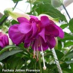 Fuchsia Jollies Provence
