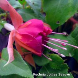 Fuchsia Jollies Savoye