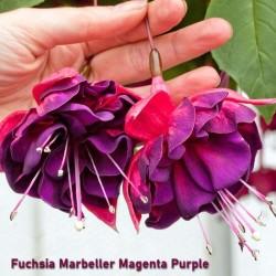 Fuchsia Magenta Purple Rain