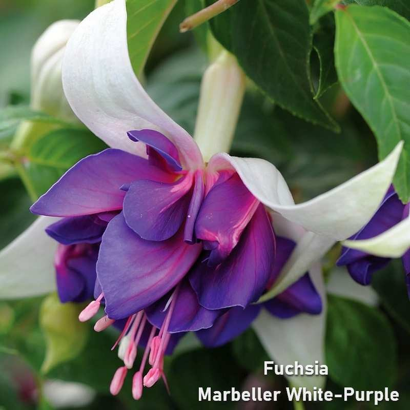 Fuchsia Marbeller White Purple
