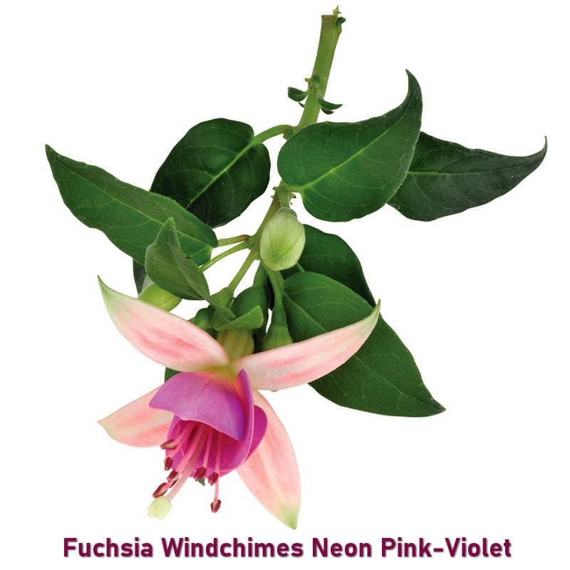Fuchsia Windchimes Neon Pink Violet