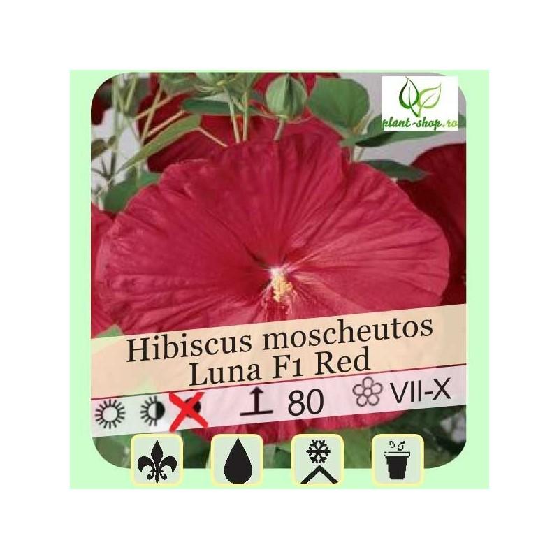 Hibiscus moscheutos Luna F1 Red