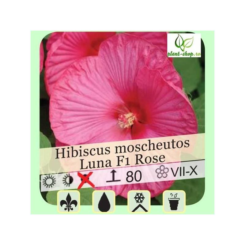 Hibiscus moscheutos Luna F1 Rose