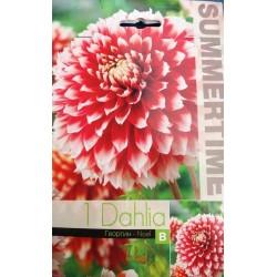 Bulbi de dalii - Dahlia decorative Noel - 1 bulb