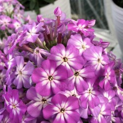 Phlox flame pro violet charm
