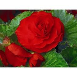 Begonia tuberhybrida Go Early Scarlet Red