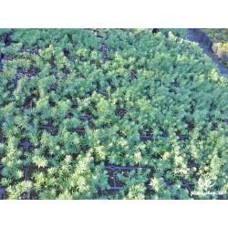 Sedum rupestre Blue Spruce