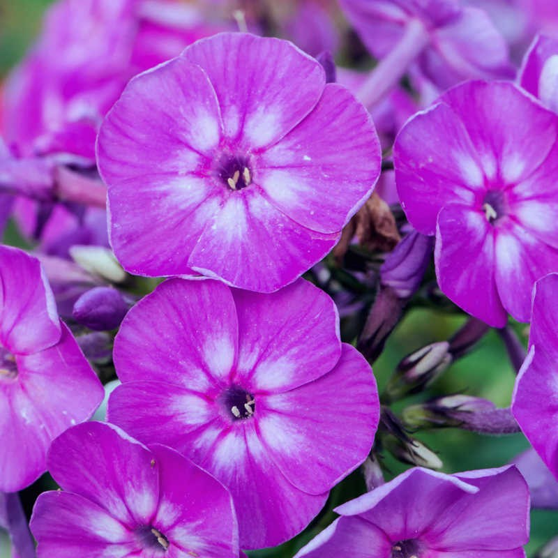 phlox famous light purple