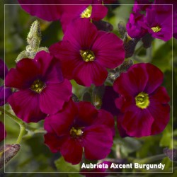 Aubrieta Axcent Burgundy
