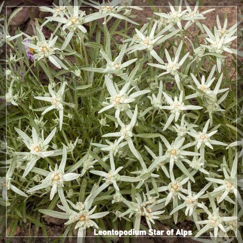Leontopodium Star of Alps