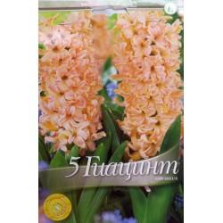 Hyacinthus Odysseus