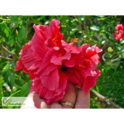 Hibiscus rosa sinensis Double Red