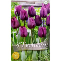 Tulipa Deep Purple
