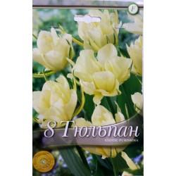 Tulipa Exotic Purissima