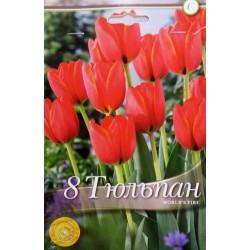Tulipa World's Fire