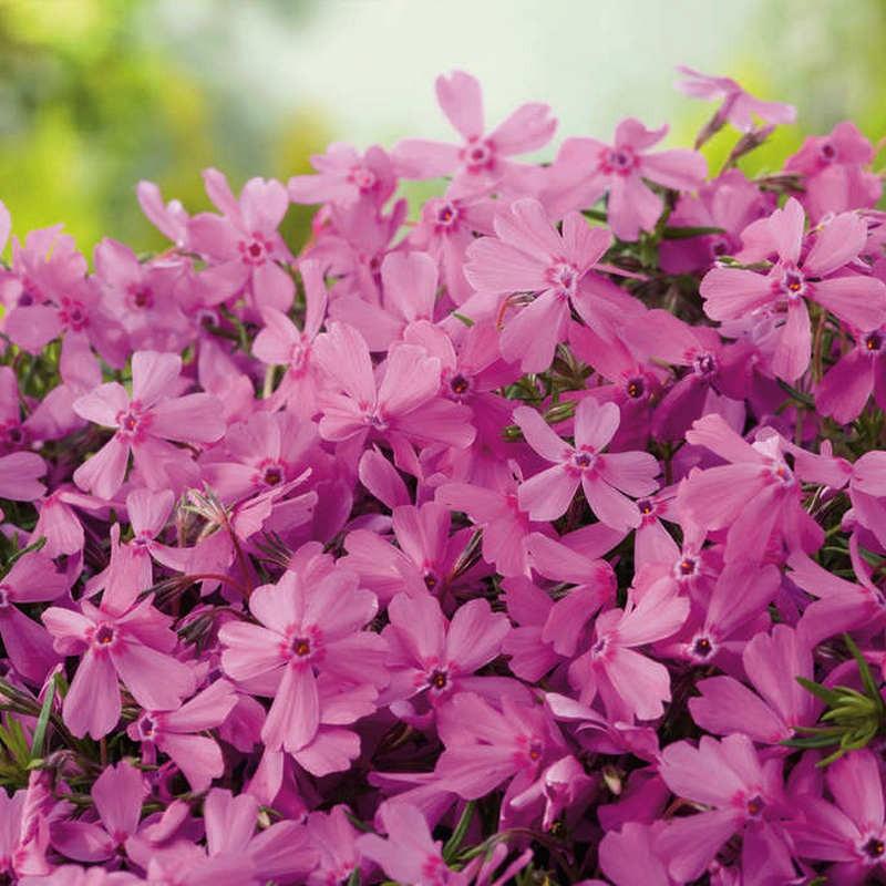 Phlox subulata Fabulous Rose