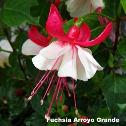 Fuchsia Arroyo Grande