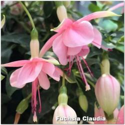 Fuchsia Claudia