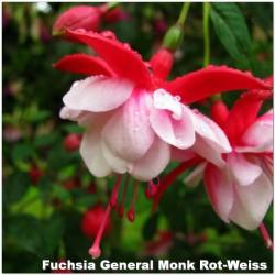 Fuchsia General Monk Rot-Weiss