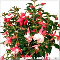 Fuchsia Jollies Biarritz
