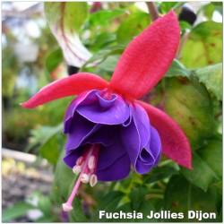 Fuchsia Jollies Dijon