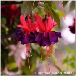 Fuchsia Maori Maid