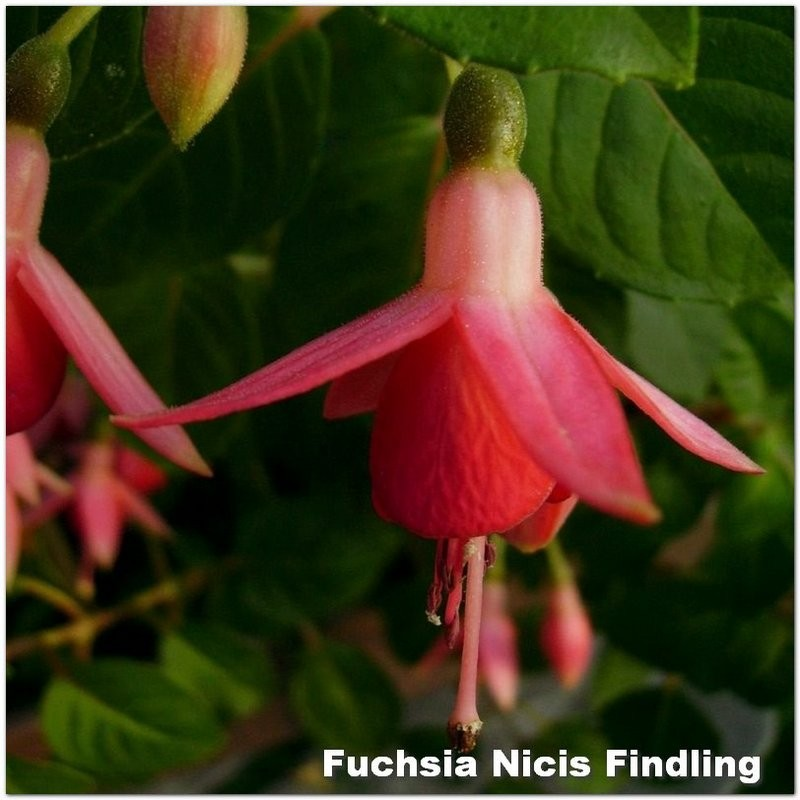 Fuchsia Nici's Findling