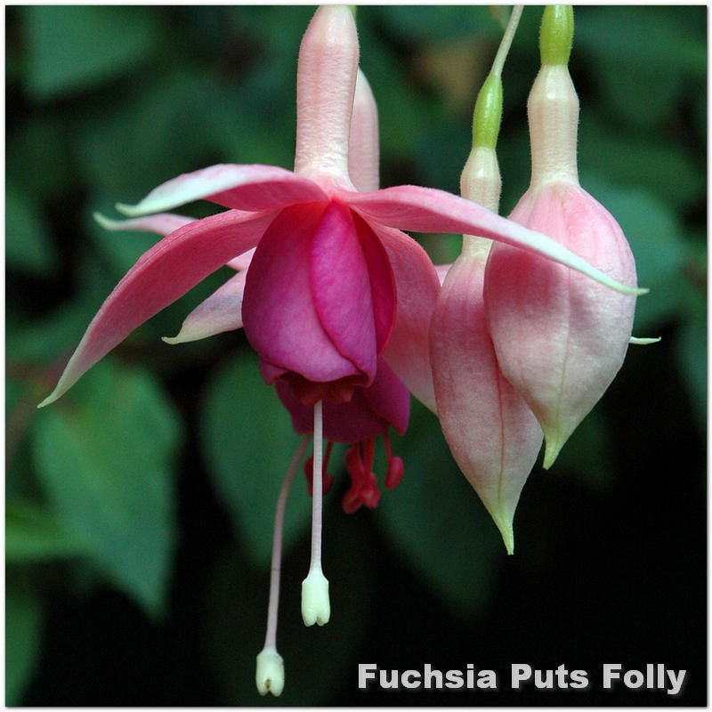 Fuchsia Put's Folly