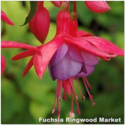 Fuchsia Ringwood Market G-9
