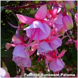 Fuchsia Sunbeam Paloma