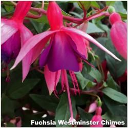Fuchsia Westminster Chimes