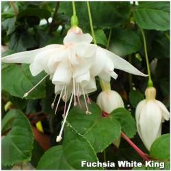 Fuchsia White King