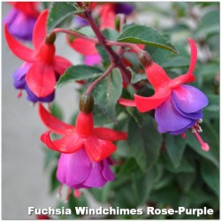 Fuchsia Windchimes Rose-Purple