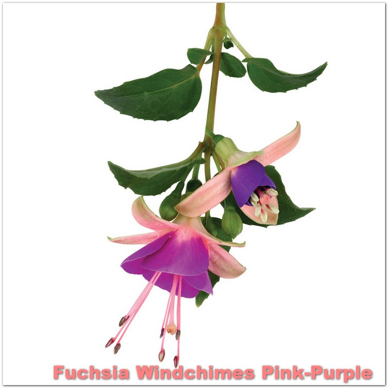 Fuchsia Windchimes Pink-Purple