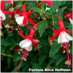 Fuchsia Alice Hoffman