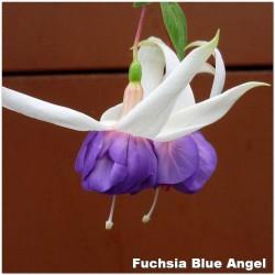 Fuchsia Blue Angel