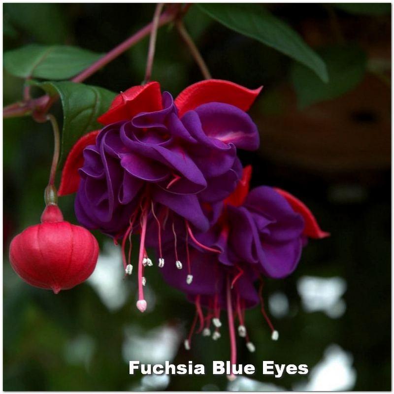 Fuchsia Blue Eyes