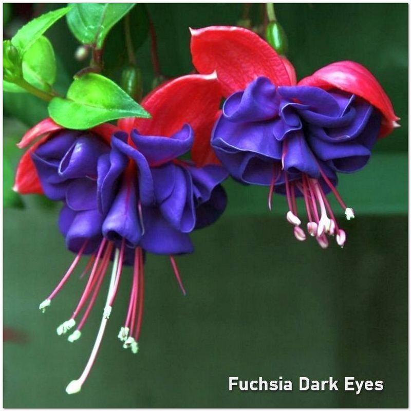 Fuchsia Dark Eyes