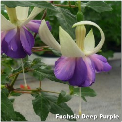 Fuchsia Deep Purple