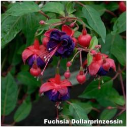 Fuchsia Dollarprinzessin