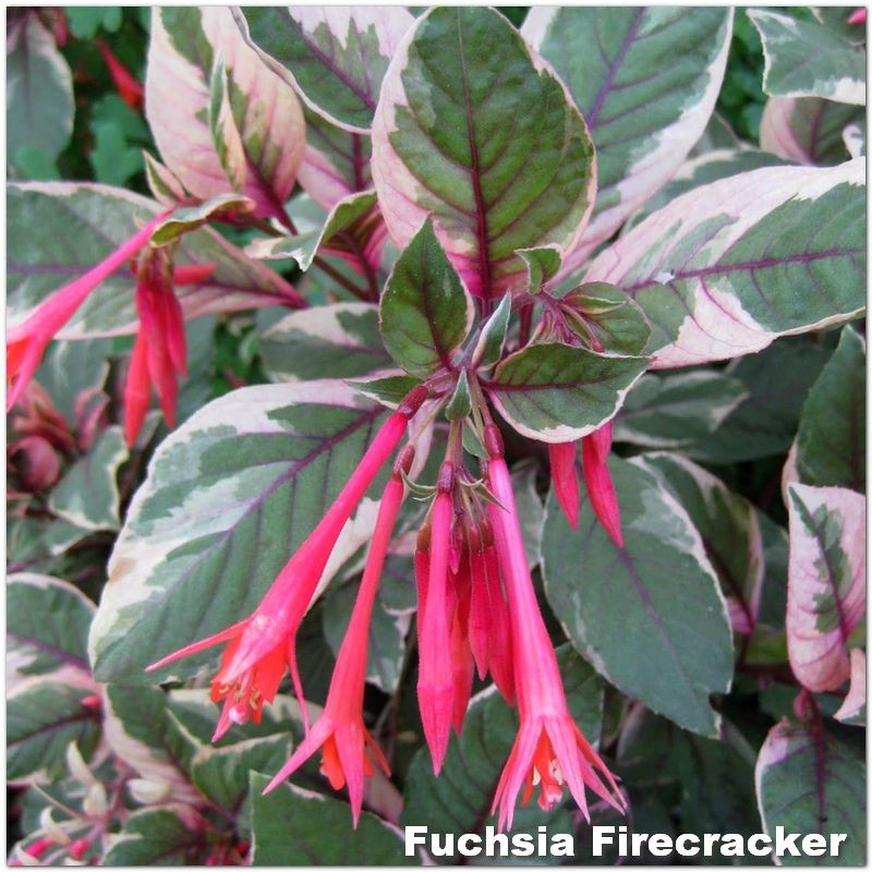 Fuchsia Firecracker