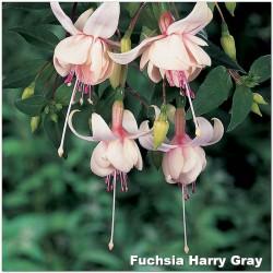 Fuchsia Harry Gray