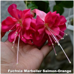 Fuchsia Marbeller Salmon-Orange