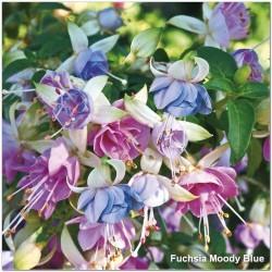 Fuchsia Moody Blues