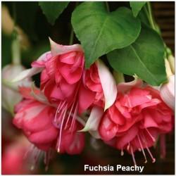 Fuchsia Peachy