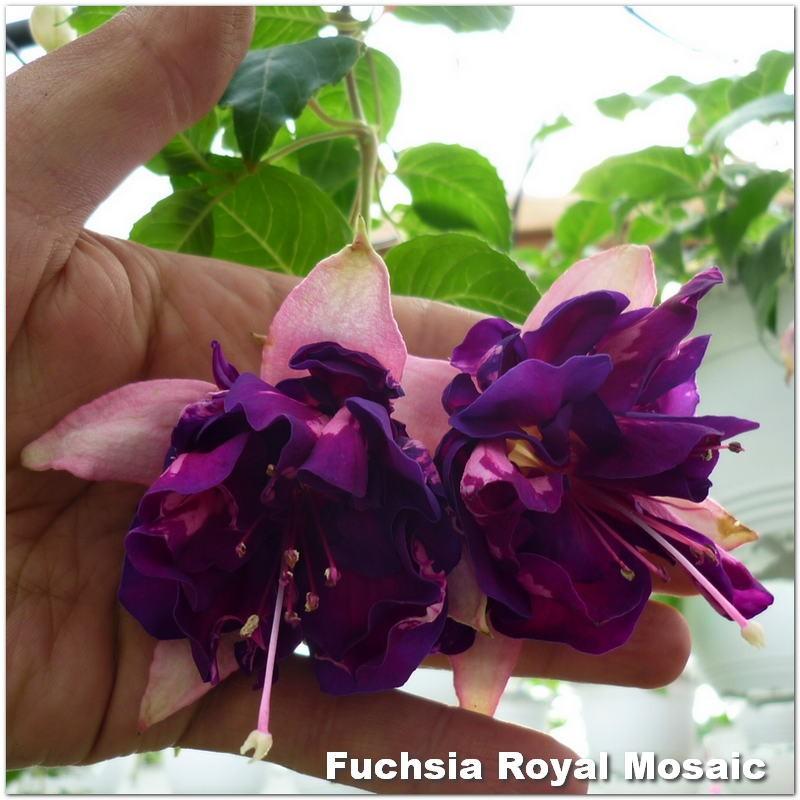 Fuchsia Royal Mosaic